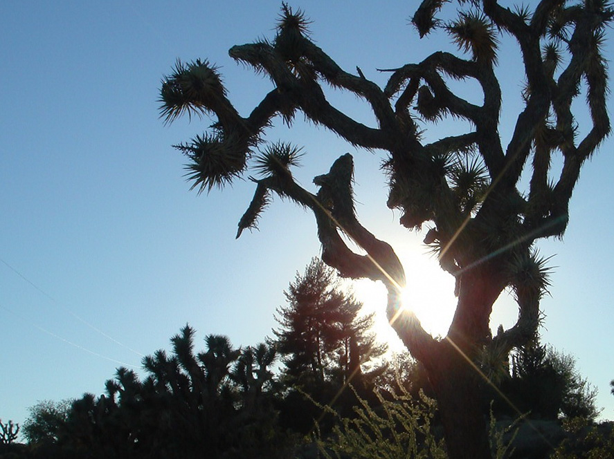Joshua Tree and the morning sun